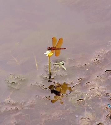 Belmont Lake State Park Wall Art - Photograph - Amberwing Dragonfly by Karen Silvestri