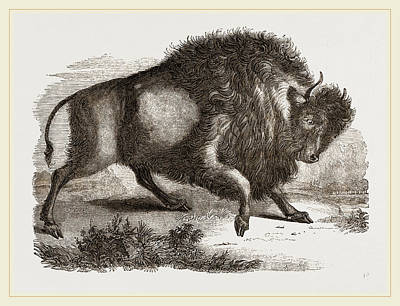 Bison Drawing - Amercan Bison by Litz Collection