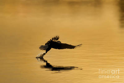 Photograph - Amercian Bald Eagle Grabbing Fish Out Of Water by Dan Friend