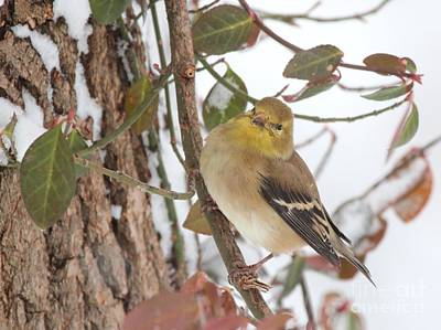 Photograph - Amerian Goldfinch by Jack R Brock