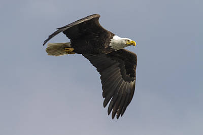 Photograph - America Bald Eagle by Jack R Perry