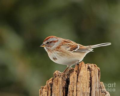 Photograph - America Tree Sparrow by Jack R Brock