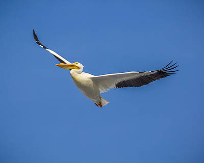 Photograph - America White Pelican by Jack R Perry