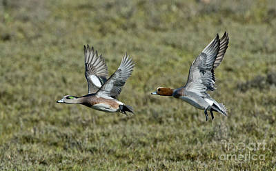 Two Ducks In Flight Photograph - American & Eurasian Wigeons by Anthony Mercieca