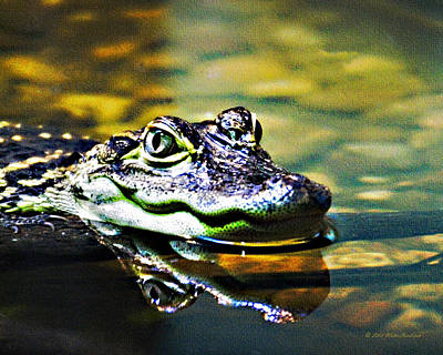 Photograph - American Alligator 1 by Walter Herrit