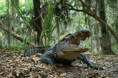 Alligator Photograph - American Alligator (alligator by Pete Oxford