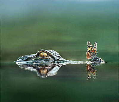 American Alligator And Butterfly Art Print by Tim Fitzharris