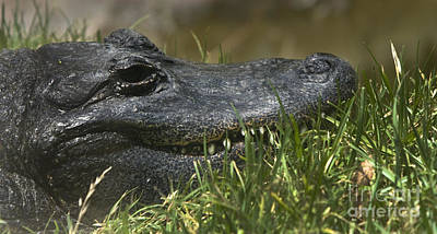 Art Print featuring the photograph American Alligator Closeup by David Millenheft