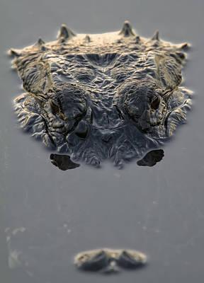 Photograph - American Alligator Everglades National by Robert Postma