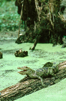 Alligator Photograph - American Alligator by Gregory G. Dimijian, M.D.