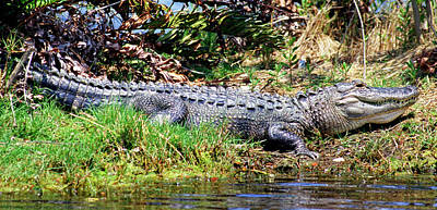 Photograph - American Alligator Juvenile Sunning by Millard H. Sharp
