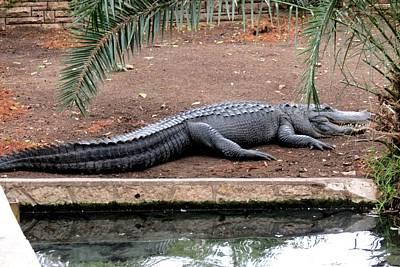 Photograph - American Alligator by Marilyn Burton