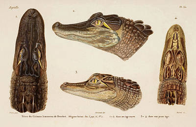 American Alligator Art Print by Natural History Museum, London/science Photo Library