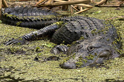 Photograph - American Alligator Smile by Meg Rousher