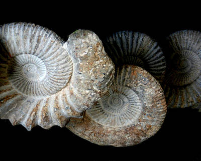 American Ammonites - Prehistoric Original by Tray Mead