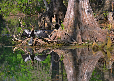Black Birds Photograph - American Anhinga Or Snake-bird by Christine Till