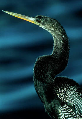Anhinga Wall Art - Photograph - American Anhinga by William Ervin/science Photo Library