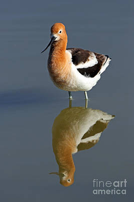 Photograph - American Avocet by Bill Singleton