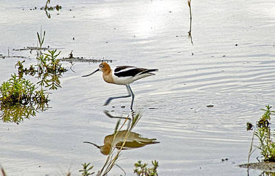 Refection Photograph - American Avocet Feeding by James Steele
