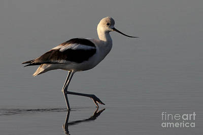 Photograph - American Avocet by Meg Rousher