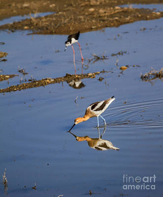 Photograph - American Avocet Searching For Food by Robert Bales