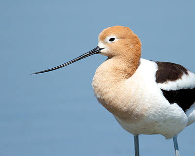 Photograph - American Avocet by Steve Kaye