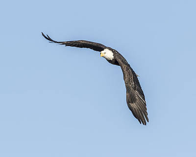 Landmarks Royalty Free Images - American Bald Eagle 2015-10 Royalty-Free Image by Thomas Young