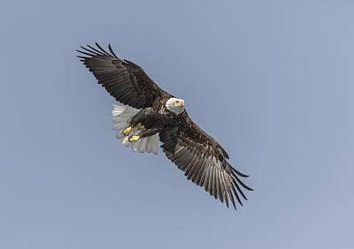 Landmarks Royalty Free Images - American Bald Eagle 2015-14 Royalty-Free Image by Thomas Young