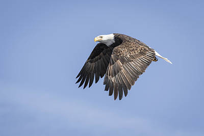 Landmarks Royalty Free Images - American Bald Eagle 2015-15 Royalty-Free Image by Thomas Young