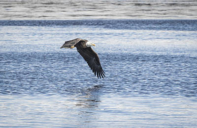 Landmarks Royalty Free Images - American Bald Eagle 2015-16 Royalty-Free Image by Thomas Young