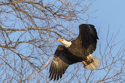 American Bald Eagle 2015-2 Art Print by Thomas Young