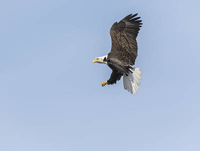 Landmarks Royalty Free Images - American Bald Eagle 2015-24 Royalty-Free Image by Thomas Young