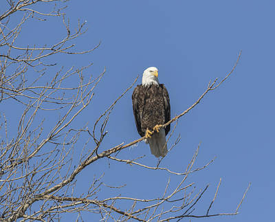 Landmarks Royalty Free Images - American Bald Eagle 2015-8 Royalty-Free Image by Thomas Young