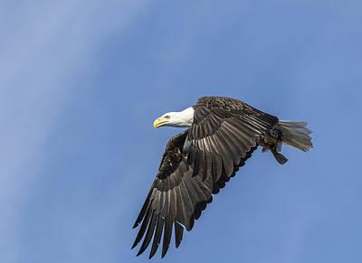 American Bald Eagle 2015-9 Art Print by Thomas Young