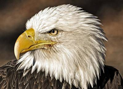 American Bald Eagle 33 Art Print