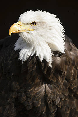 Landmarks Royalty Free Images - American Bald eagle Royalty-Free Image by Andy-Kim Moeller