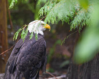 Photograph - American Bald Eagle by Jonah Anderson