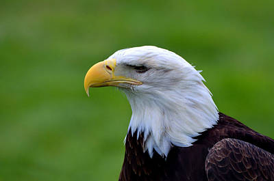 Photograph - American Bald Eagle by Kathleen Stephens