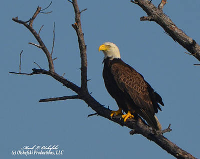 Space Photographs Of The Universe - American Bald Eagle mol I by Mark Olshefski