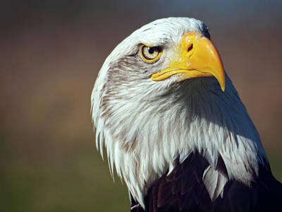 Eagle Photograph - American Bald Eagle by Neil Howard