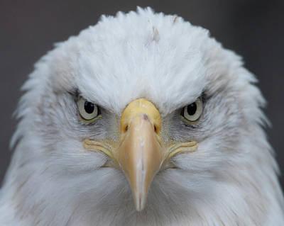 Eagle Photograph - American Bald Eagle by Photo By Wayne Bierbaum; Annapolis, Maryland