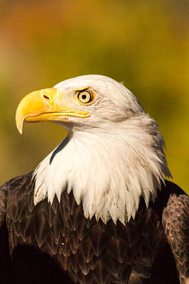 Photograph - American Bald Eagle by Teri Virbickis
