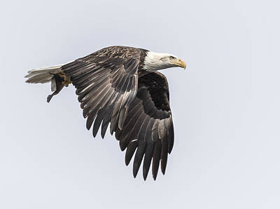 Landmarks Royalty Free Images - American Bald Eagle With A Fish 3 Royalty-Free Image by Thomas Young