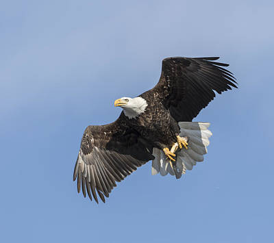 American Bald Eagle With A Fish 1 Art Print by Thomas Young