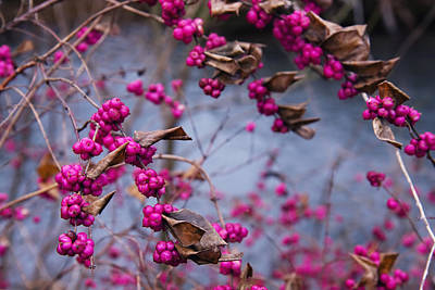 Photograph - American Beauty Berry by Melinda Fawver