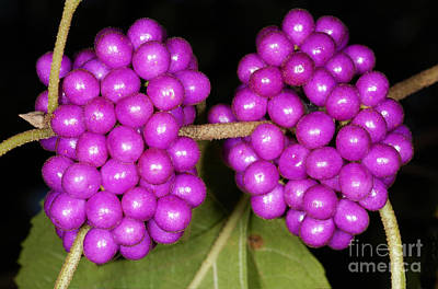 Photograph - American Beautyberry by Scott Camazine