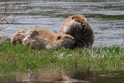 Beaver Photograph - American Beaver Pair by Ken Archer