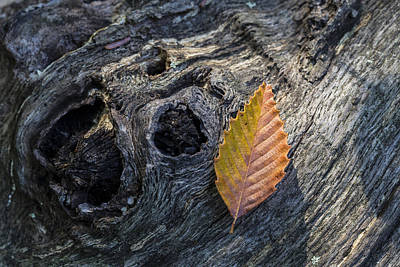 Photograph - American Beech Leaf by Andrew Pacheco
