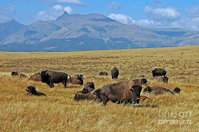 Photograph - American Bison - Near Glacier by Cindy Murphy - NightVisions