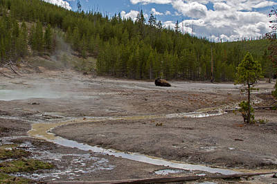 Buffalo Photograph - American Bison Among The Thermal Pools by Natural Focal Point Photography
